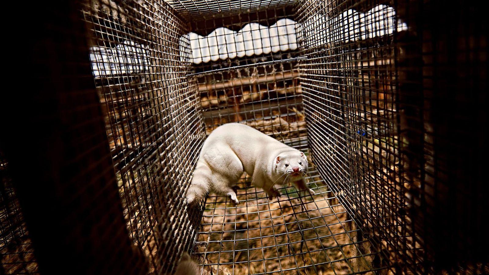 En las granjas de pieles de Holanda, más de 800.000 visones nutrenuna industria que recauda alrededor ...