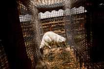 En las granjas de pieles de Holanda, más de 800.000 visones nutren una industria que recauda alrededor ...