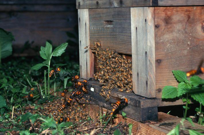 Avispones gigantes asiáticos atacan a abejas