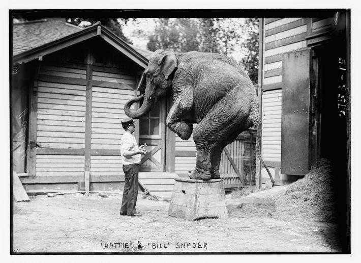 Elefante Hattie