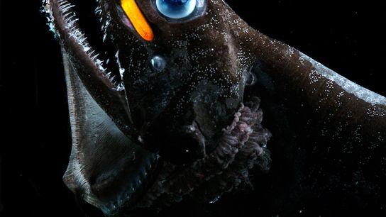 Un pez dragón de ojos azules exhibe su luz naranja