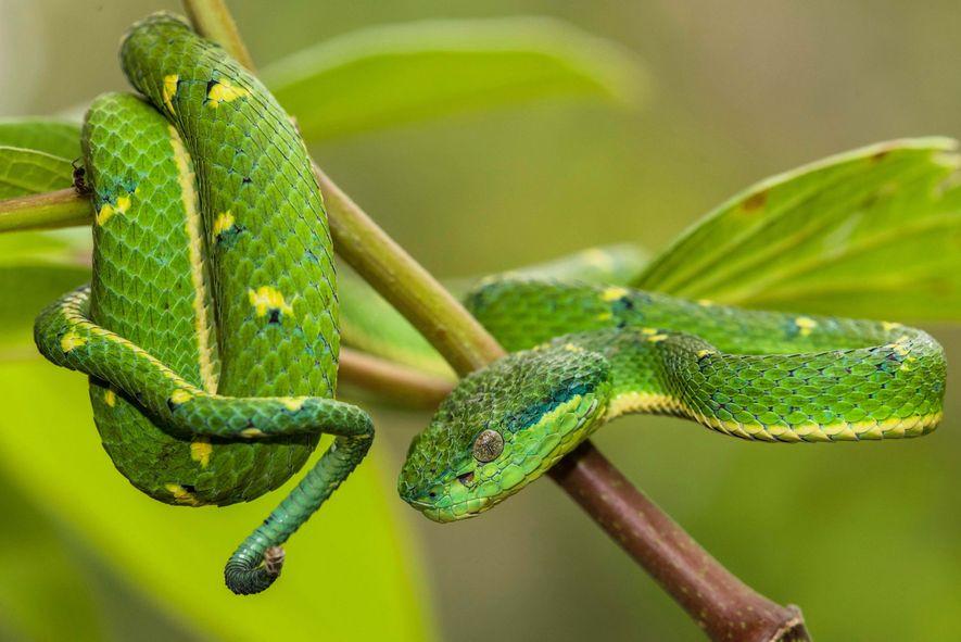 Créeme, no quieres meterte con esta víbora de palma verde (Bothriechis lateralis): estas criaturas poseen glándulas ...