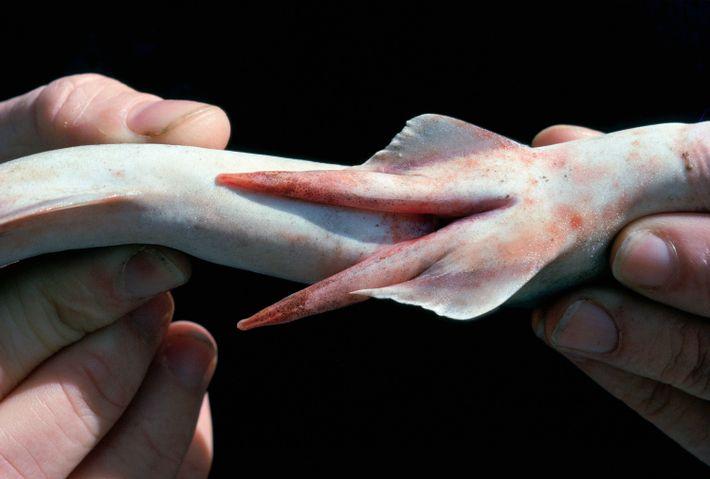 Clásperos de tiburón