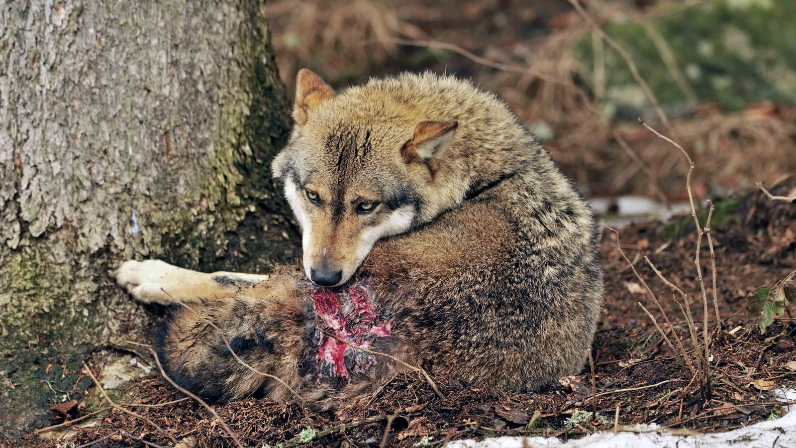 Un lobo herido