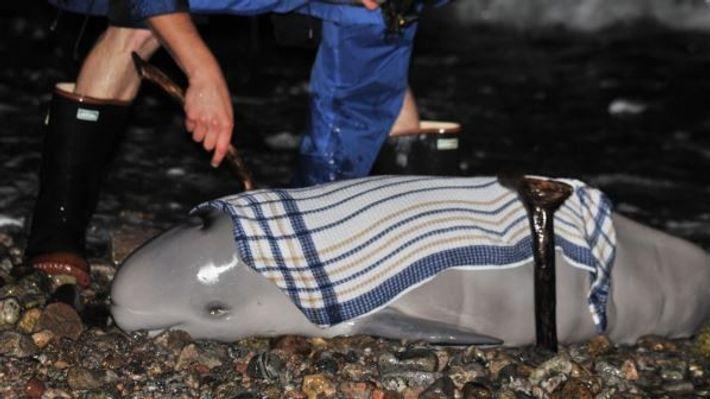we got to save this Beluga newborn