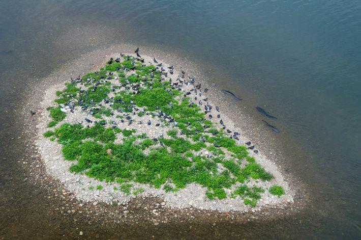 Los siluros europeos nadan junto a un islote