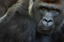 Foto de un gorila occidental de llanura