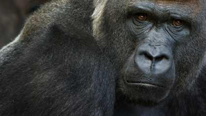 Varios gorilas dan positivo en COVID-19 en un zoológico de California