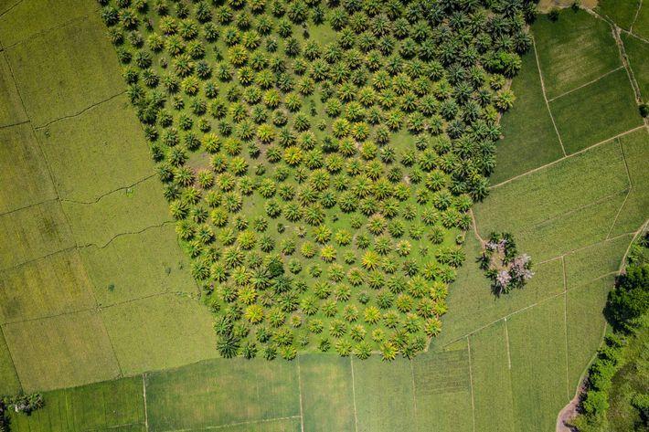 Fotografía de una plantación de aceite de palma