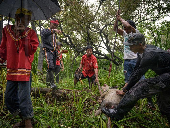 Fotografía del sacrificio ritual de un cerdo