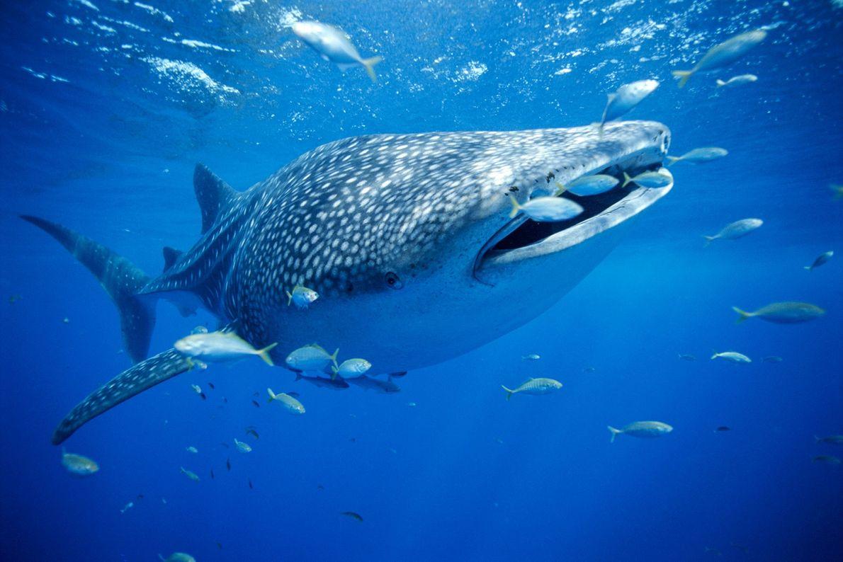 Tiburón ballena. Australia occidental