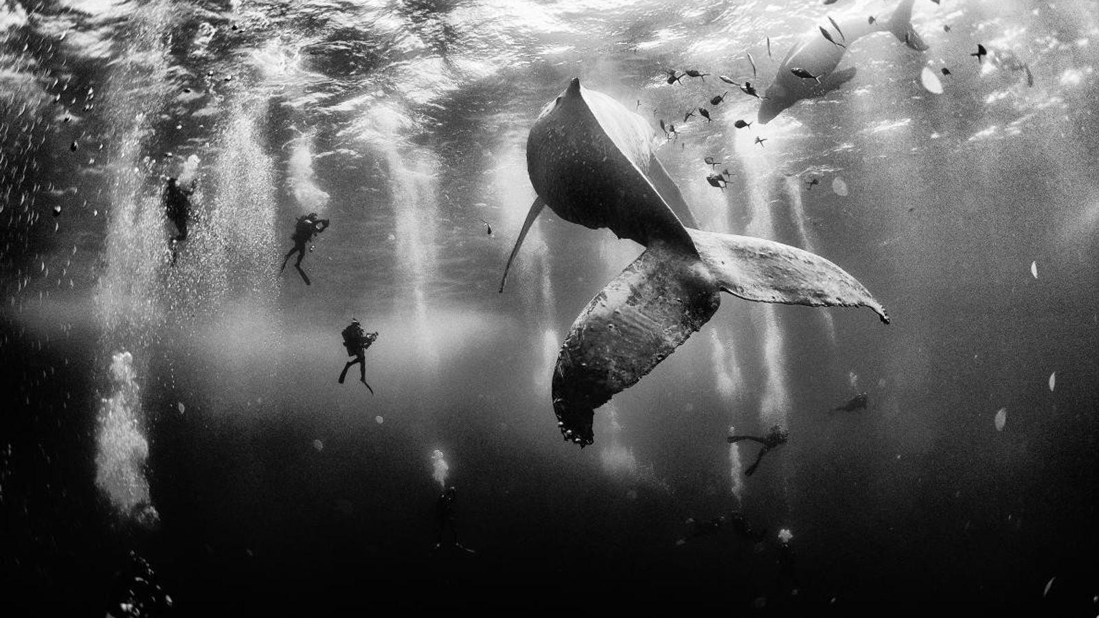 Esta imagen de unos submarinistas con ballenas jorobadas en la costa de México, en la isla ...