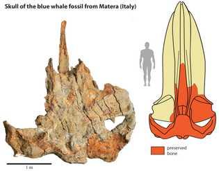 Cráneo fosilizado