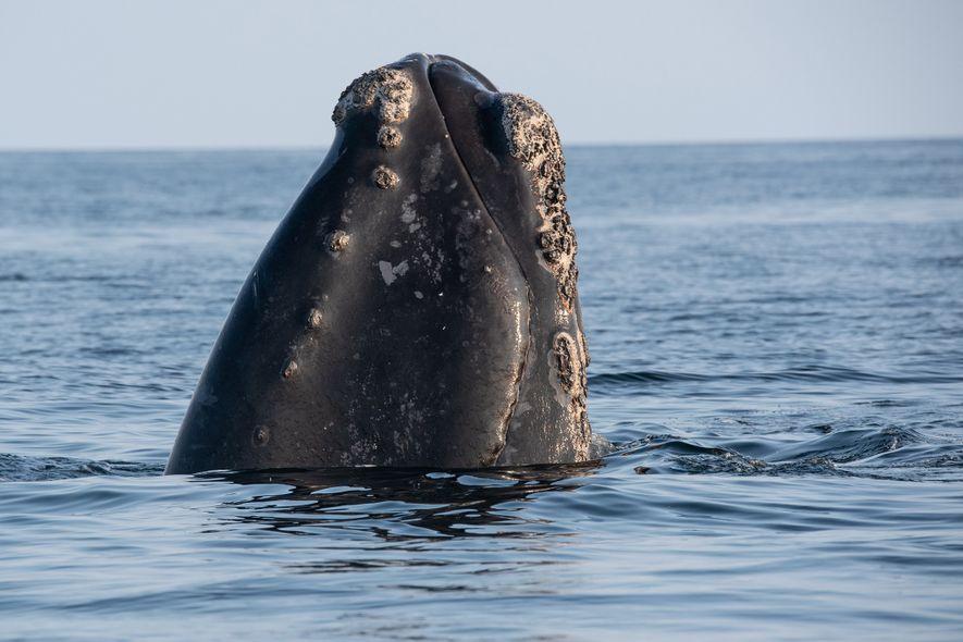 Una ballena franca glacial