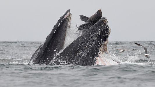 ¿Cómo acabó este lobo marino en la boca de una ballena jorobada?
