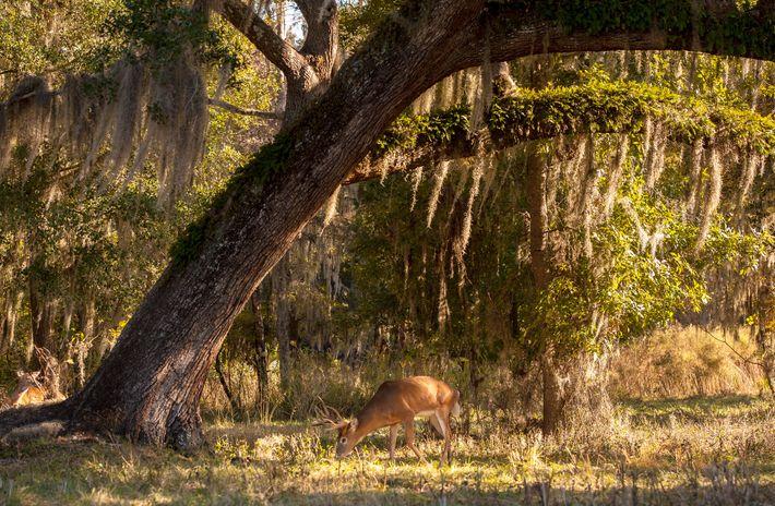 Un ciervo de cola blanca se alimenta en Florida