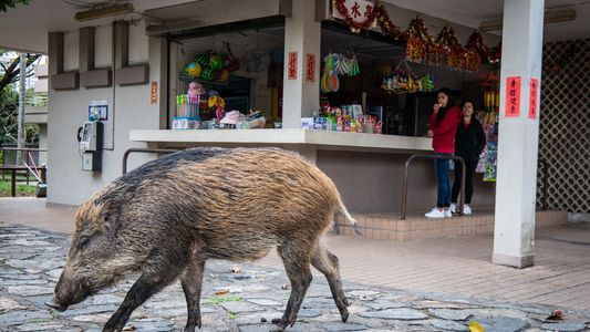 Los jabalíes: un problema creciente en las zonas urbanas de Hong Kong