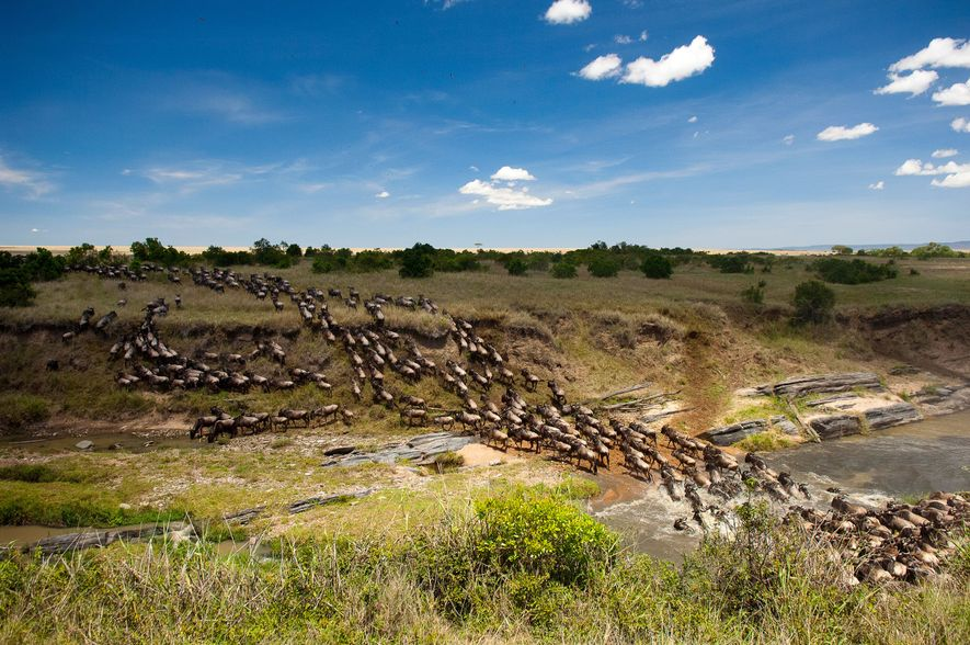 Los majestuosos ñus cruzan el río Mara en su migración anual, enfrentándose a los cocodrilos que ...