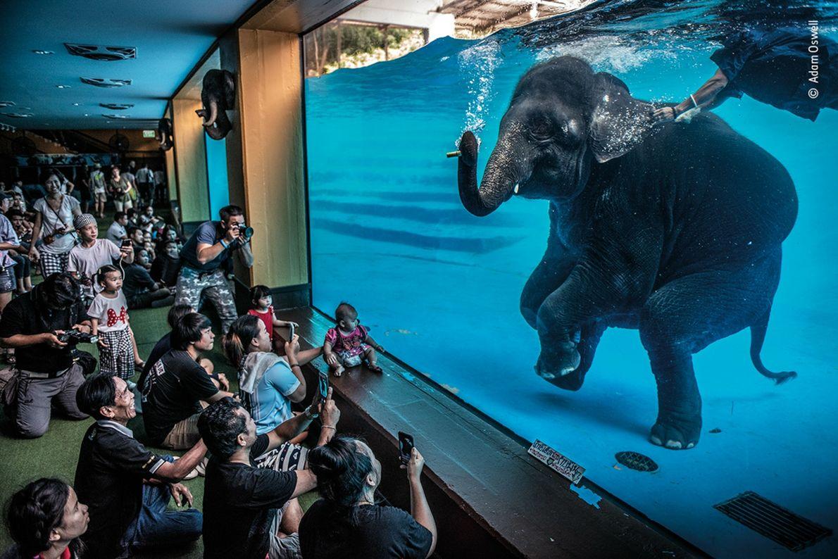 Un elefante joven bucea delante de unos espectadores en Tailandia. Esta imagen del fotógrafo australiano Adam ...