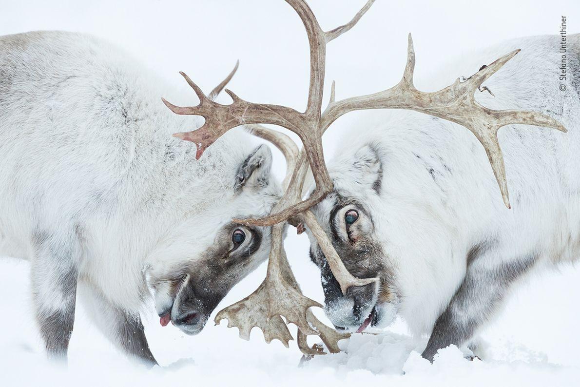 Dos renos de Svalbard luchan con sus cornamentas por el control del harén en Svalbard, Noruega, ...