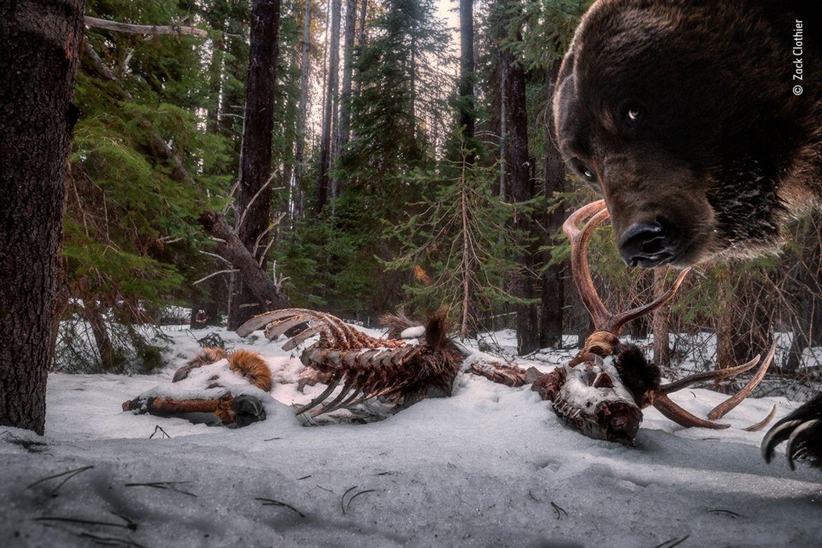 En Montana, el fotógrafo estadounidense Zack Clothier puso una cámara trampa en los restos de un ...