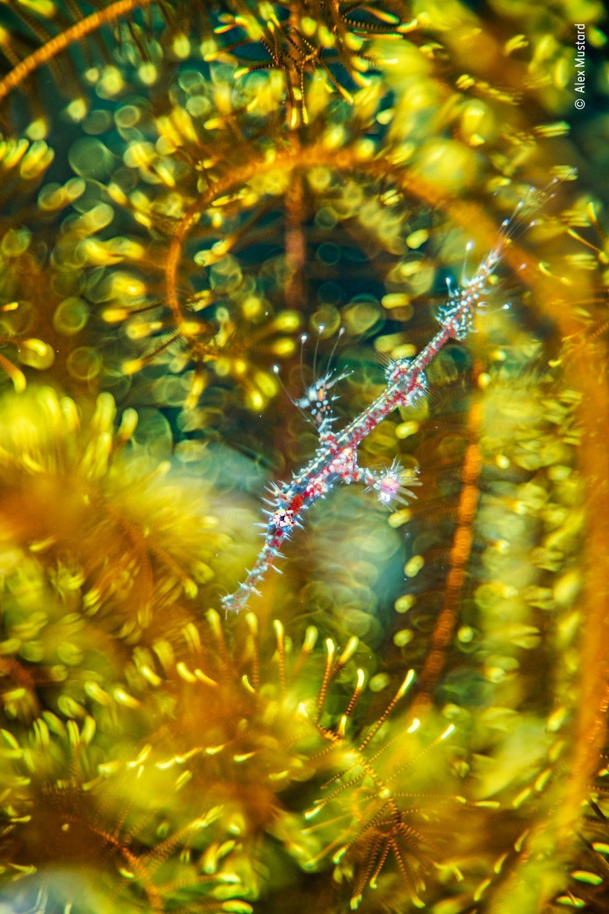 Alex Mustard, que vive en el Reino Unido, encontró un pez pipa fantasma arlequín escondido entre los ...