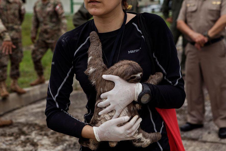 La veterinaria Violeta Barrera Navarro sostiene un perezoso tras la operación de rescate en Puerto Alegría.