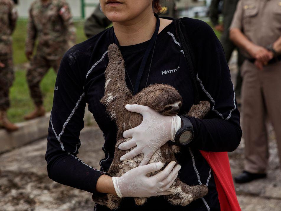 Rescatan 22 animales salvajes utilizados ilegalmente en los «safaris de selfis» del Amazonas