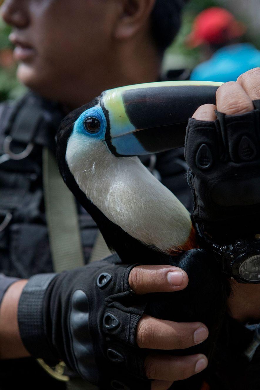 Este tucán es una de las 14 aves rescatadas, entre ellas guacamayos rojos y loros. Todos los animales fueron capturados ilegalmente en la selva.