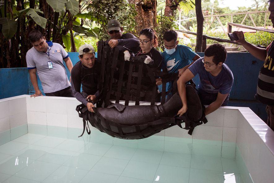 En el Centro de Rescate Amazónico, un centro de rehabilitación de Iquitos, los veterinarios bajan un manatí rescatado a una piscina. La hembra sufre una insuficiencia de peso de 18 kilos y necesitará tres años de rehabilitación antes de ser puesta en libertad en la naturaleza.