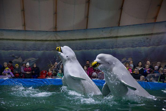 Belugas actuando