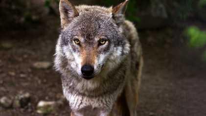 La caza del lobo ibérico será prohibida en España