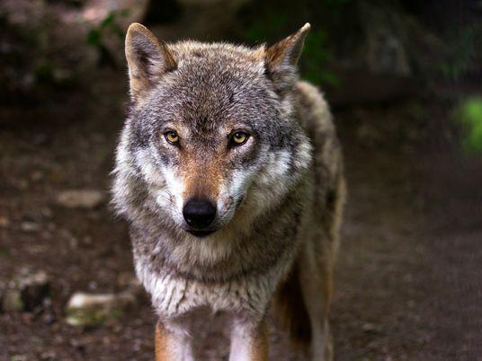 La caza del lobo ibérico queda prohibida en toda España