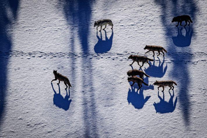 Fotografía de una manada de lobos grises