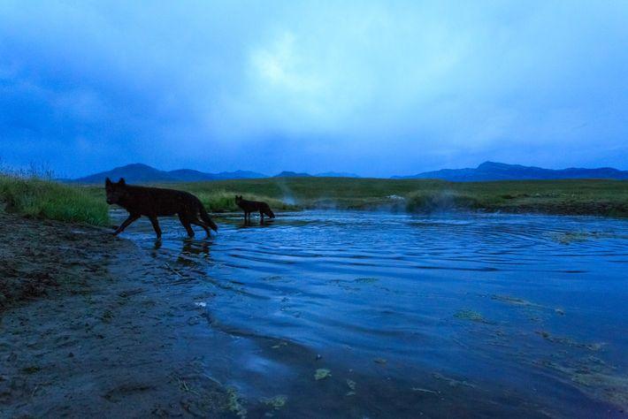 Fotografía de una manada de lobos en el parque nacional de Yellowstone