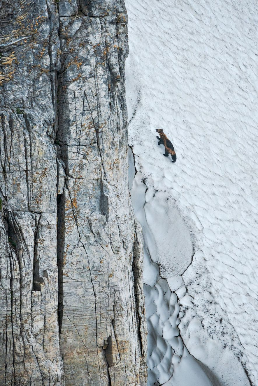En su implacable búsqueda de alimento, los glotones suelen recorrer cientos de kilómetros cuadrados de terreno accidentado. Las grandes patas con garras afiladas y curvas (abajo) permiten a estos exploradores intrépidos escalar paredes de hielo en cuestión de minutos.
