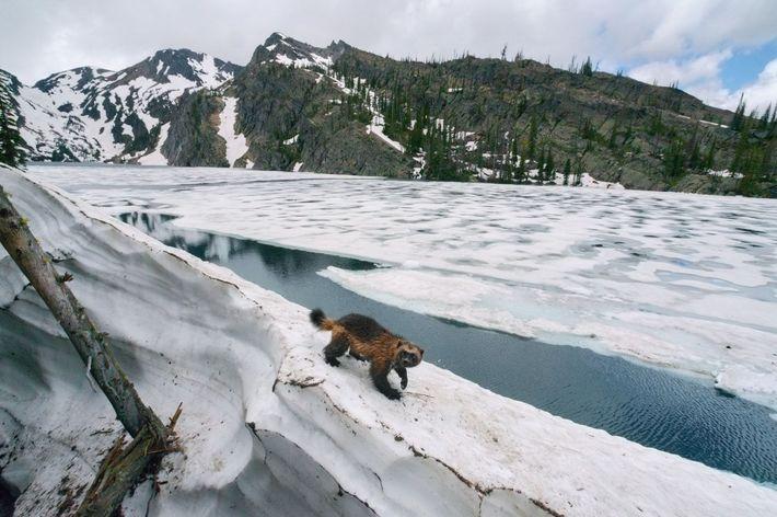 Un glotón del norte de Montana