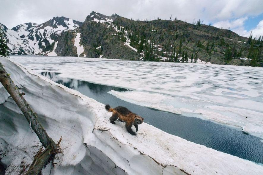 Un glotón del norte de Montana es uno de los casi 300 que viven en los Estados Unidos contiguos. El cambio climático amenaza con aislar a esta población vulnerable, pero las iniciativas para protegerla conforme a la Ley de Especies en peligro de extinción de Estados Unidos se han estancado.
