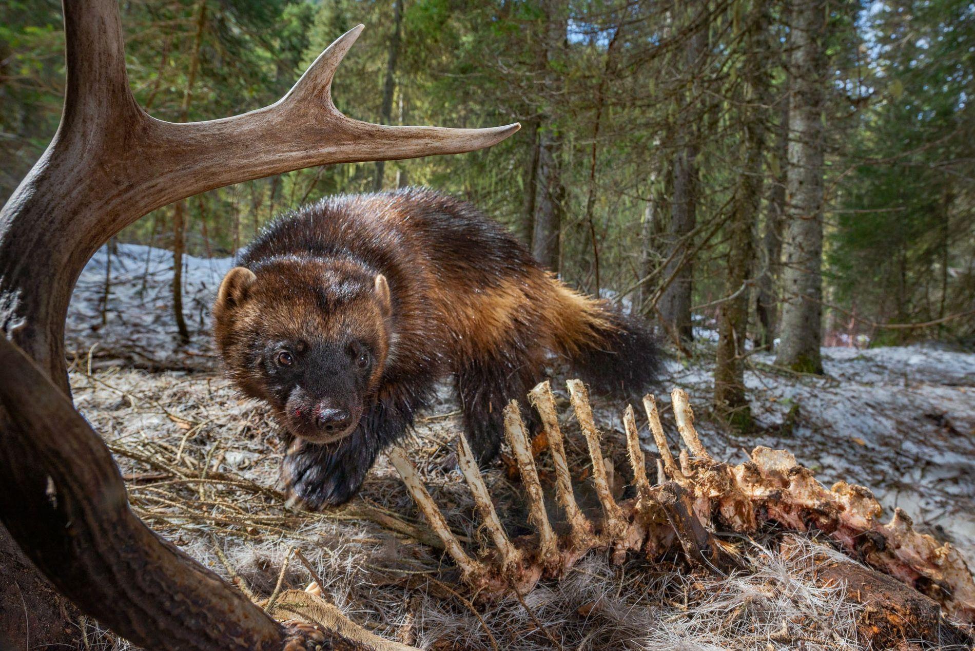 Un glotón en alerta en el valle Swan, Montana, dispara una cámara trampa mientras se alimenta de un cadáver de ciervo. Estos depredadores reservados están preparados para sobrevivir en paisajes septentrionales gélidos. ¿Podrán adaptarse a un mundo más cálido?