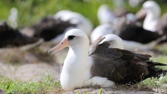 El ave salvaje más longeva del mundo pone un huevo a los 67 años