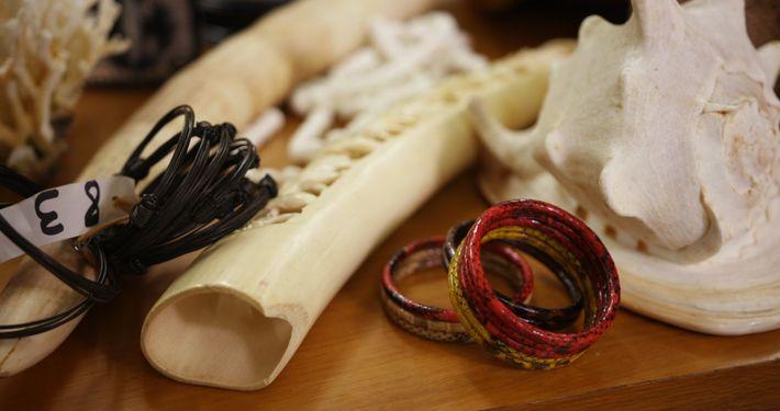 Los colmillos de marfil son uno de los más deseados trofeos de caza. En España destaca ...