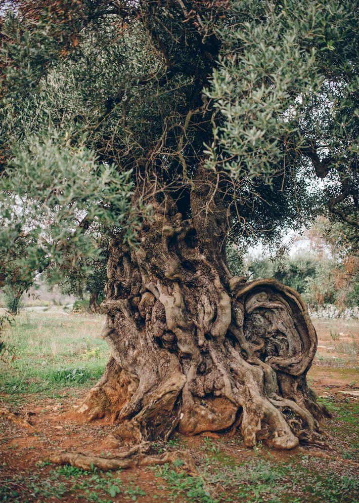 Este olivo de Ugento, Puglia, —al que los lugareños llaman «l'Orecchio» por su distintivo tronco— tiene ...