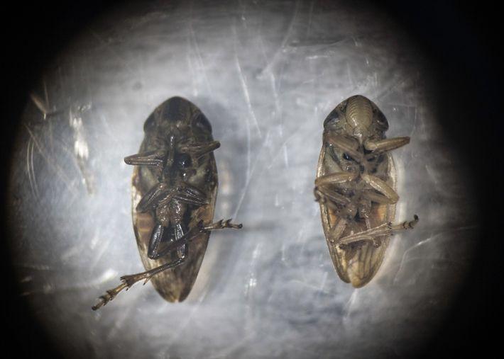 Un cercopoideo hembra (derecha) y macho (izquierda) bajo un microscopio en el Consejo Nacional de Investigación ...