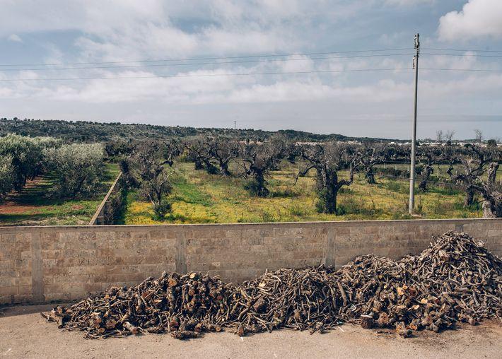 Montones de madera cortada de árboles infectados se secan frente a la fábrica de aceite de ...