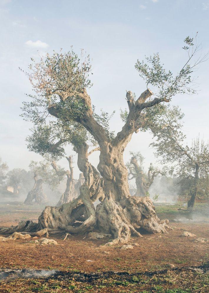 Otro árbol de Ugento ha vivido aquí durante más de 300 años, pero ahora está infectado ...