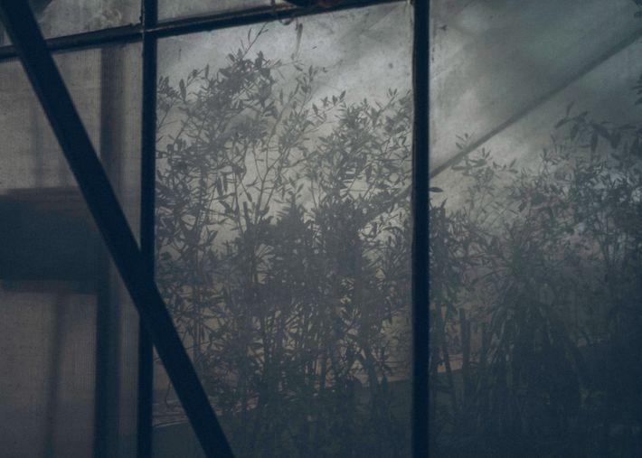 Olivos jóvenes crecen en un invernadero del CNR en Bari. Estos árboles han sido infectados de ...