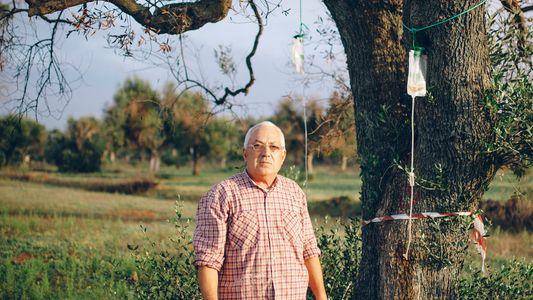 Una bacteria devasta los olivares italianos