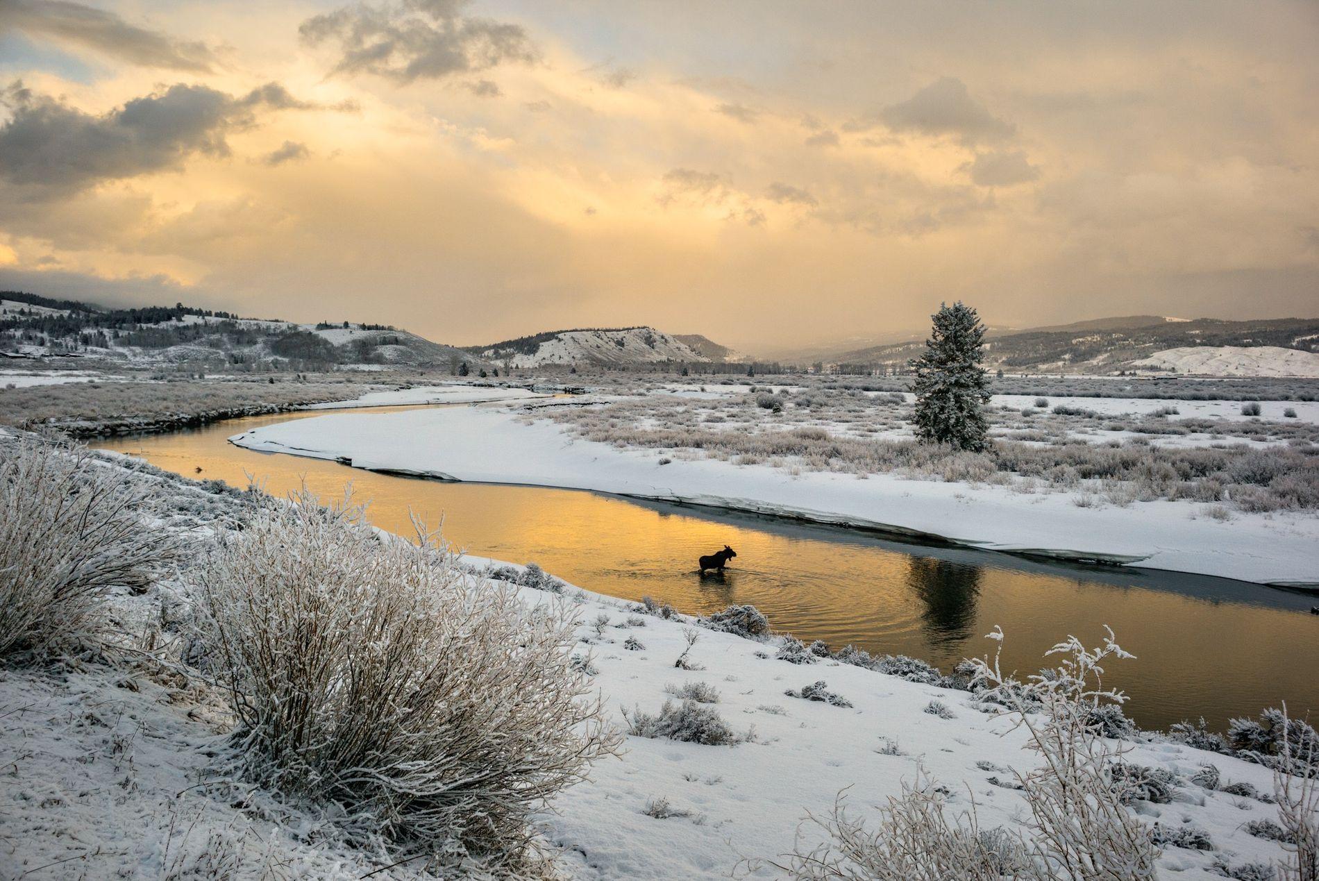 En una imagen de archivo, un alce vadea el río Buffalo Fork, cerca de Grand Teton.
