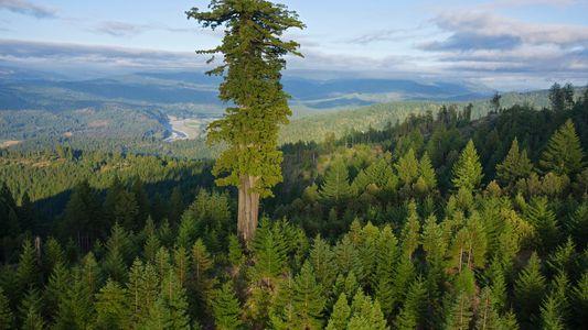Los árboles más viejos y altos del mundo se mueren