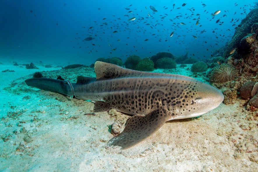 Un tiburón cebra solitario inmóvil sobre el lecho arenoso de la reserva natural de las islas ...